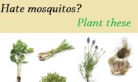 plants to fight mosquitos