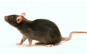 Rats With Spinal Cord Injuries Have Regained The Use of Their Paws